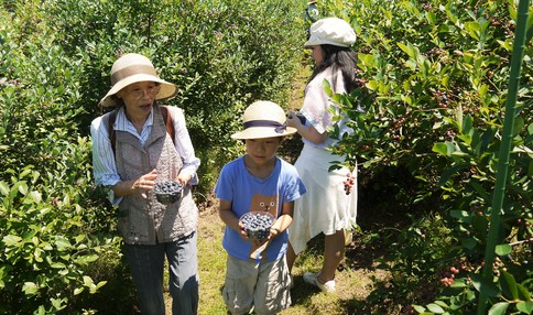 ブルーベリーの収穫の様子です