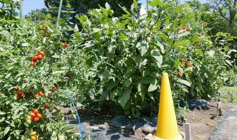 多くのトマトが実っています
