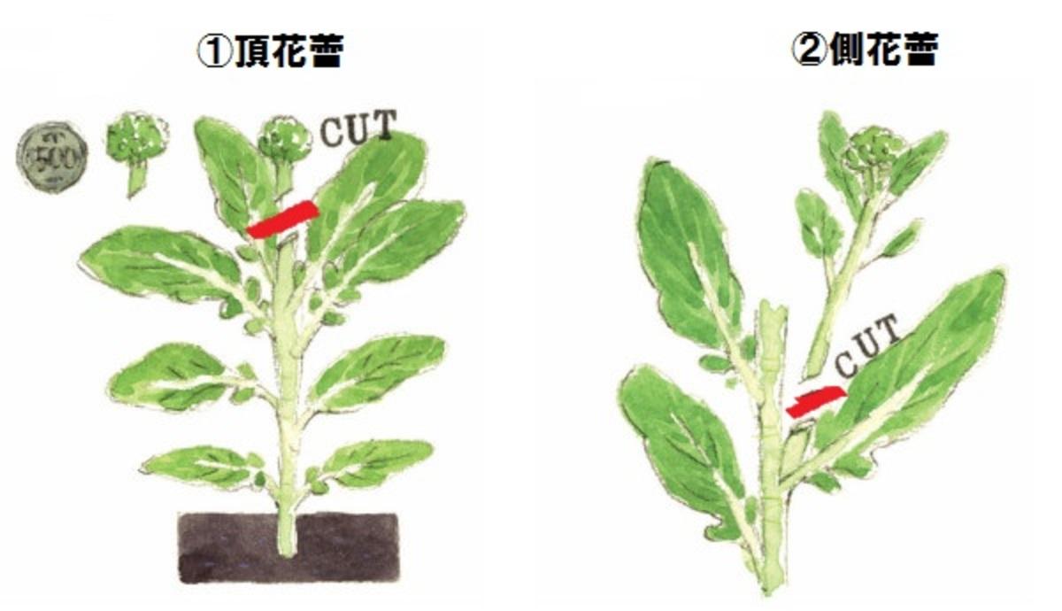 ①茎ブロッコリー収穫の仕方