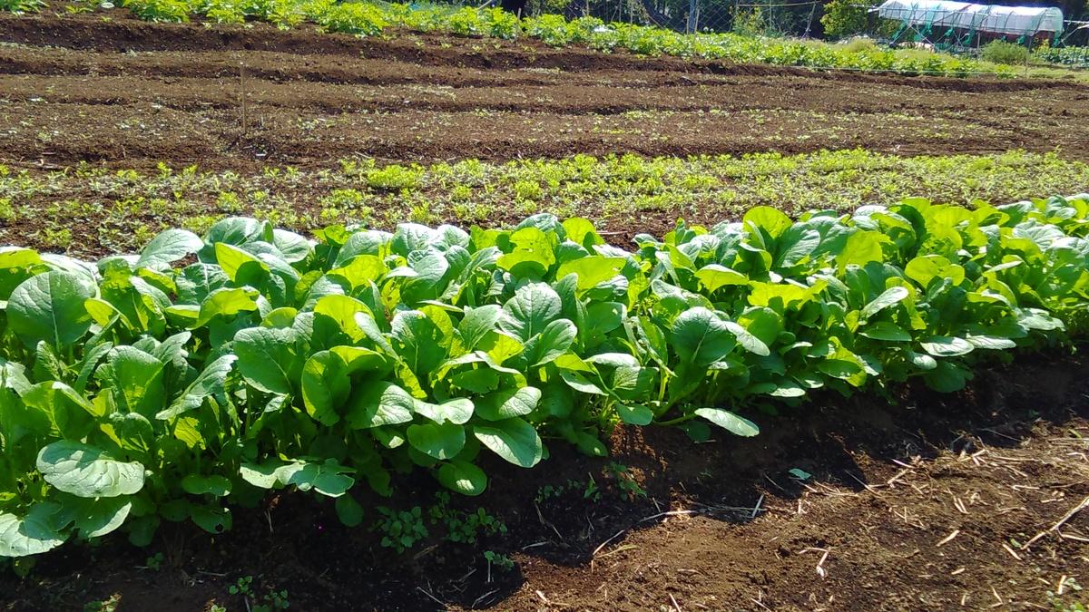 小松菜 畑