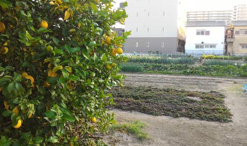 毎年冬には、レモンの木が農園を彩ります!