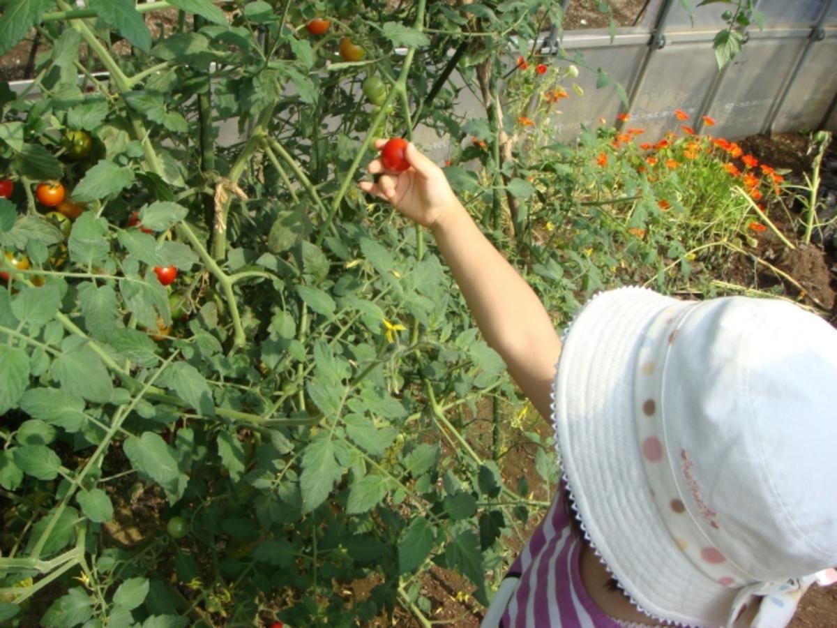 【食育コラム】畑仕事で子供たちが変わる!?-野菜を育てることで育まれるもの、エディブル・スクールヤードの事例から-