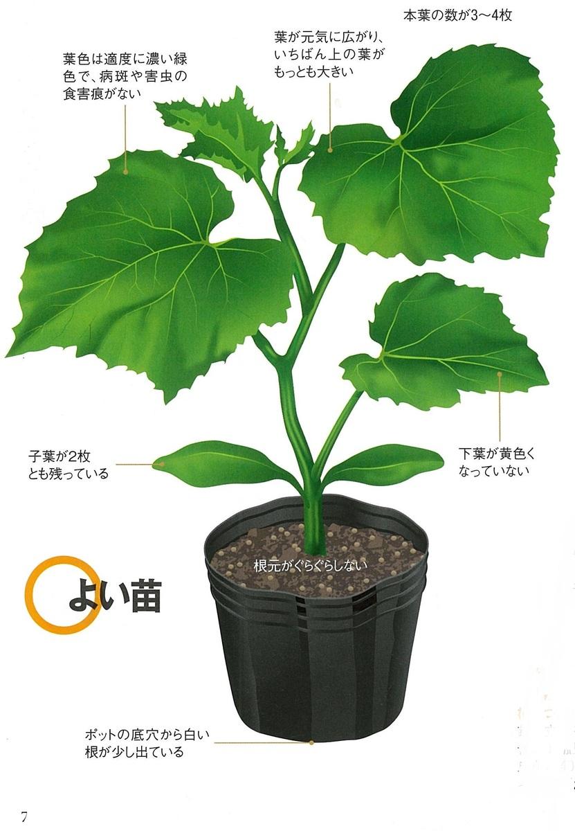 畑で家庭菜園_キュウリの育て方_良い苗の例
