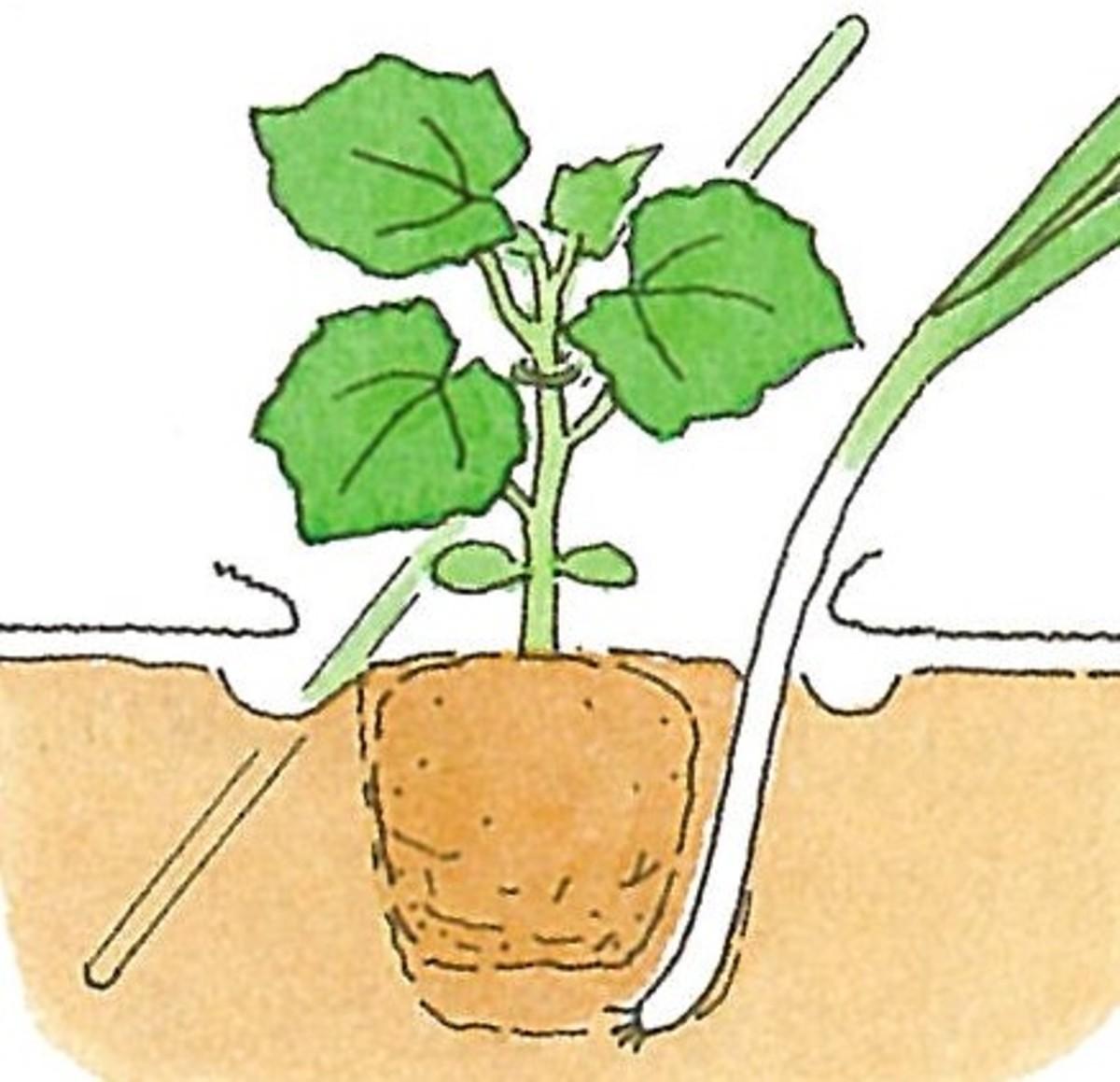 畑で家庭菜園_キュウリの育て方_キュウリとネギのコンパニオンプランツ