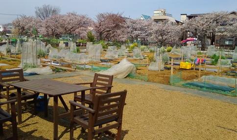 春には桜に囲まれます