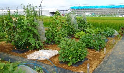 農園の様子 多くの野菜が育っています