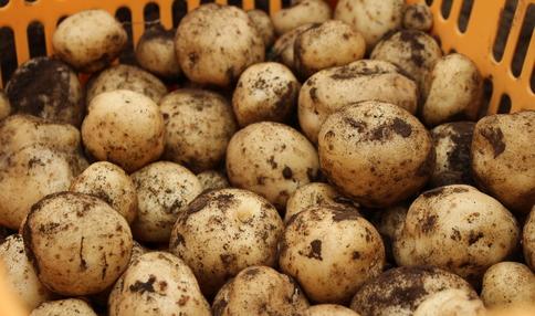 ジャガイモいっぱい採れました!