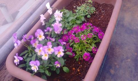 冬春の花を植え付けました(^^♪