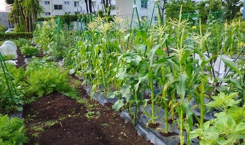 畑でトウモロコシも栽培できます!