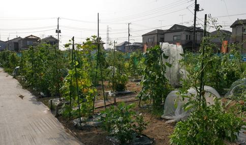 有機栽培で作った野菜は格別です☆