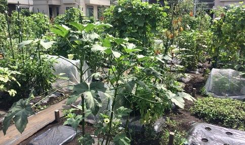 すくすくとお野菜が育っています