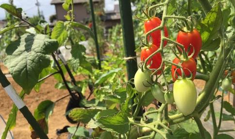 2018年春夏作付けのミニトマト『アイコ』