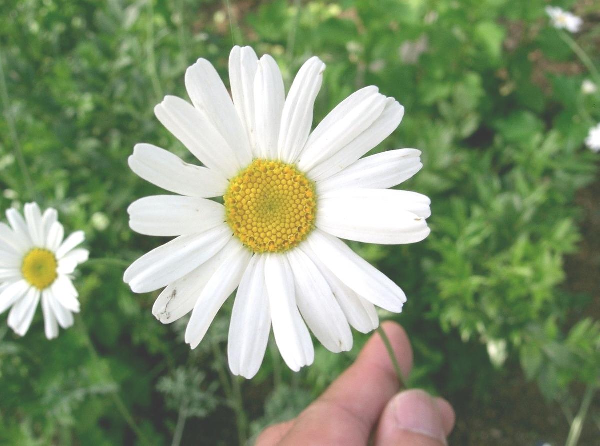 防虫菊(シロバナムシヨケギク)