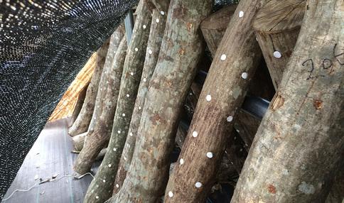 シェア畑東久留米ではしいたけも栽培しています