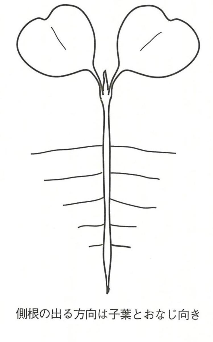 B双葉と側根の向き